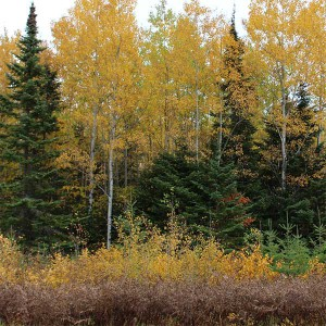 golden birch and aspen