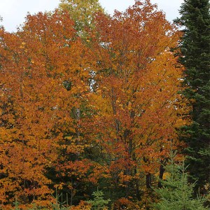 maples are turning