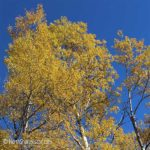 birch fall colors