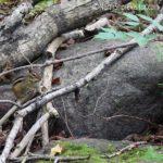 north shore chipmunk
