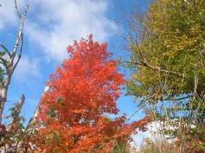 Fiery maple