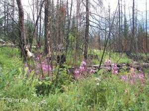 Fireweed along the Gunflint Trail