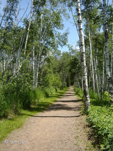 hiking among the birch
