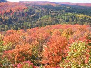 North Shore autumn maples