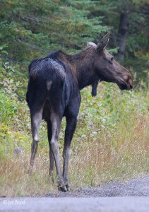 Cow Moose edge of Gunflint Trail