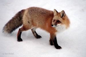 red fox, white winter