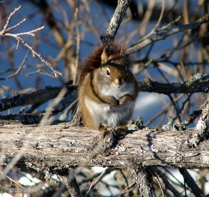 Filling up, red squirrel