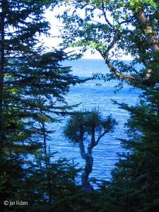Witch Tree, Grand Portage