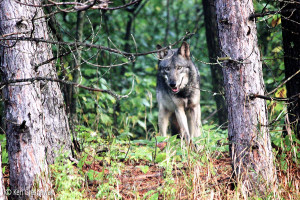 Sharing the trail (wolf)