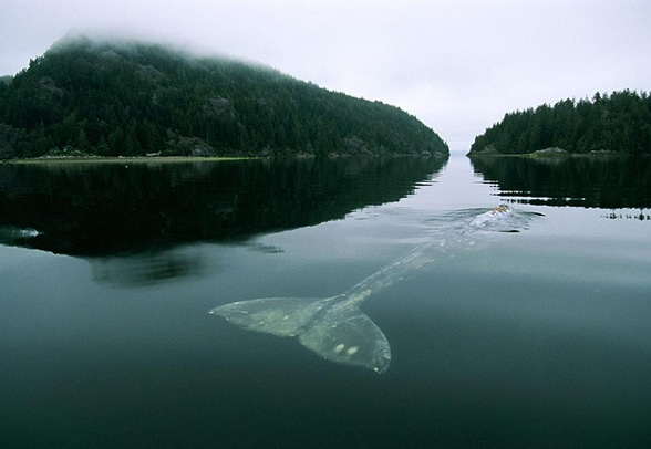calm waters showcase whale tail underwater and back just breaking surface of lake superior