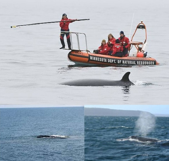 minnesota dnr tagging whales on lake superior