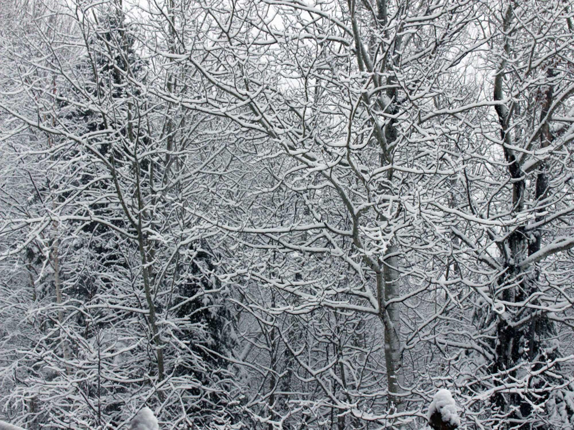 tree branch snow