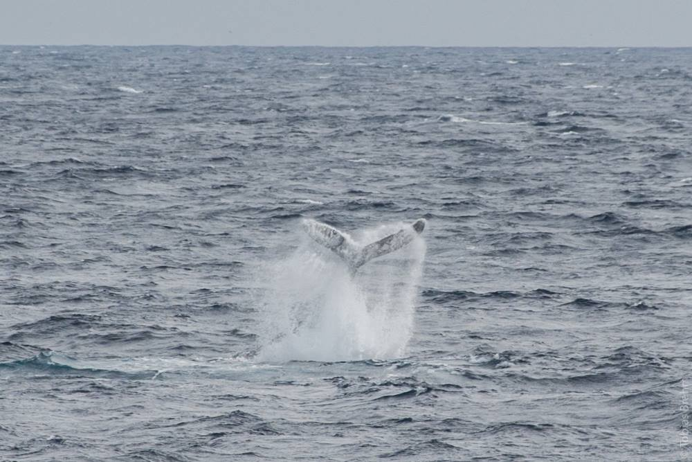 whale tail on a grey day in choppy lake superior waters