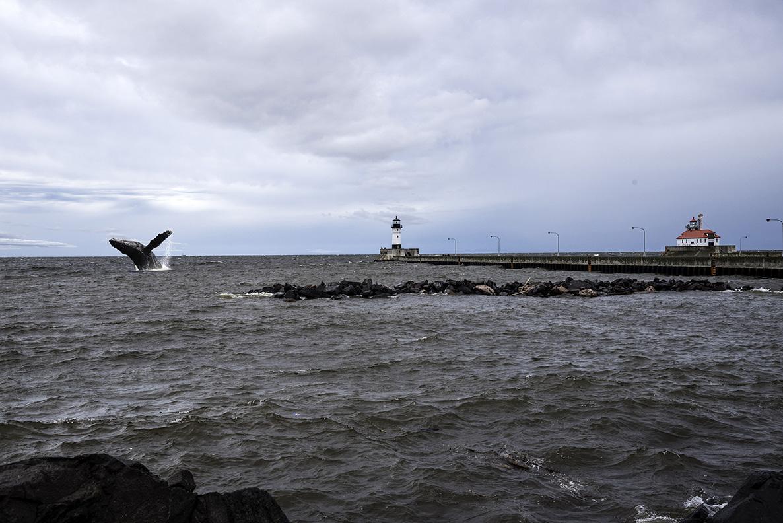 whale breaches near duluth ship canal