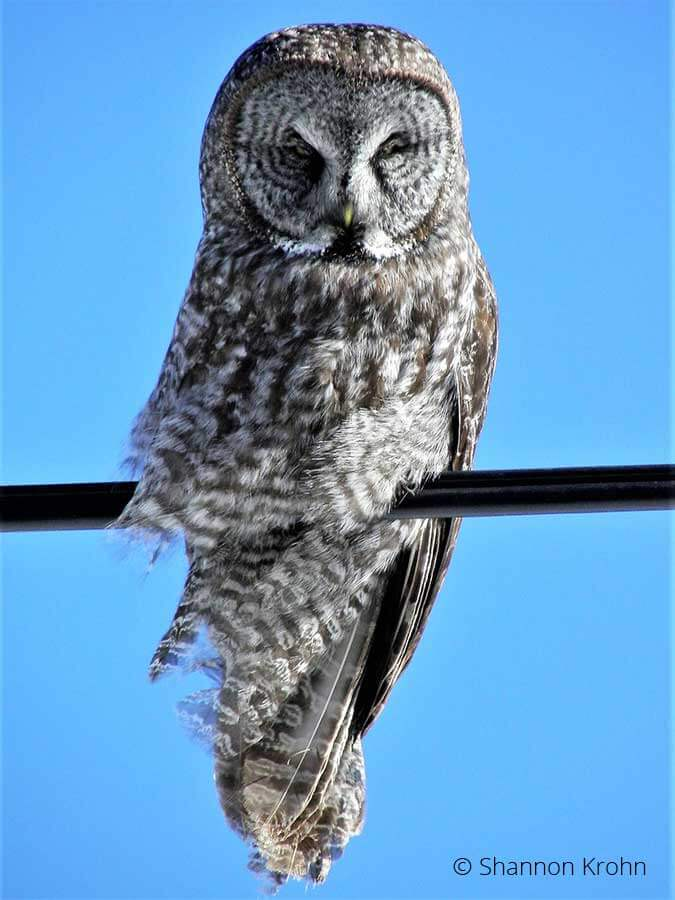 Owls of the Superior National Forest