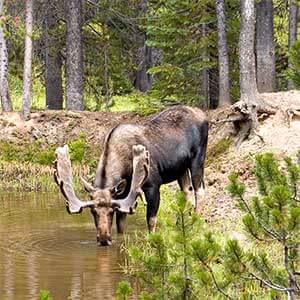 bull moose drinks from pond along gunflint trail