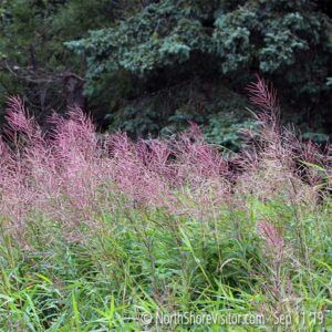 Past Peak Fireweed