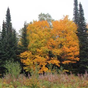 Bright maples and last of the fireweed
