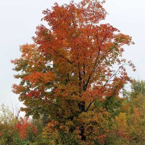 Giant colorful maple