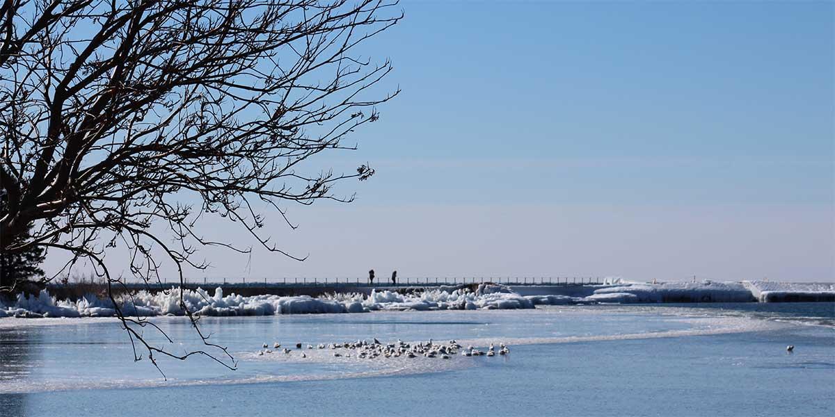 mountain ash tree leans over grand marais harbor ahwre gulls ride an ice floe