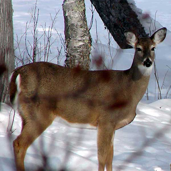 closeup white tail deer in winter