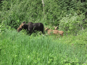 Grazing mother and twin moose calves