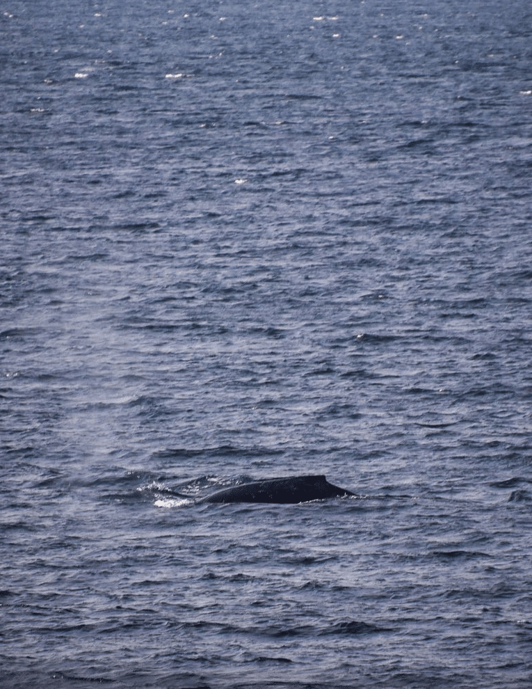 cresting back of whale in lake superior