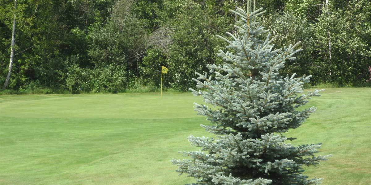 blue spruce in front of golf green