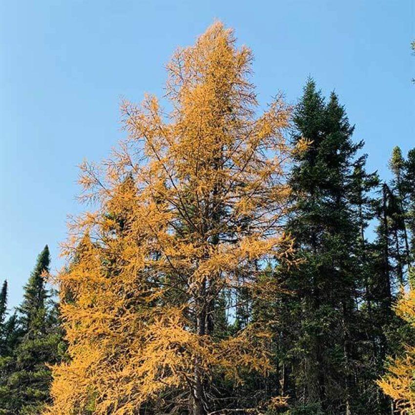 tamarack in golden plumage with evergreens behind