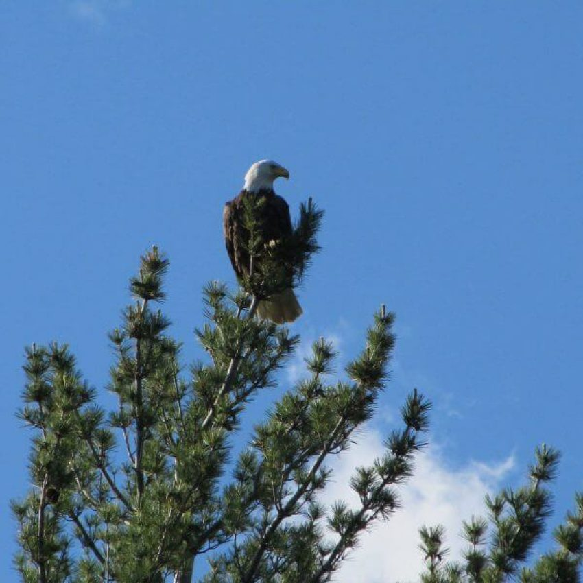 Bald eagle atop a pine against the blue sky