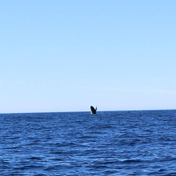 big whale jumping out of lake superior